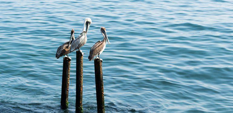 Pelicans at El Malecón
